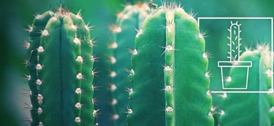 Wie Man Einen San Pedro Kaktus Anbaut Und Umsorgt
