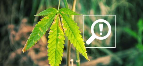 5 Probleme, Die Auftreten Können, Während Cannabis Blüht