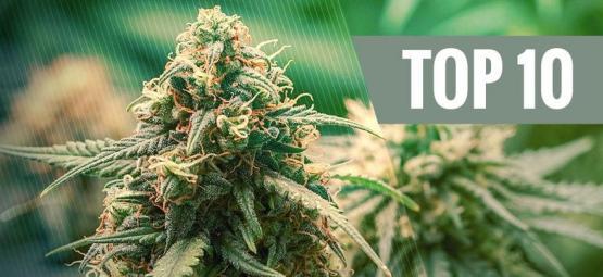 Top 10 Der Besten Cannabis-Hybridsorten