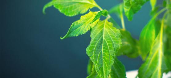 Wie Man Salvia Divinorum Verarbeitet