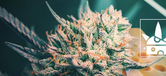 Die Top 3 Cheese-Cannabissorten Und Ihre Vergangenheit