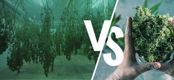Nass- vs. Trockentrimmen Deiner Cannabispflanzen