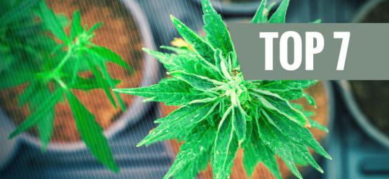 7 Cannabissorten Mit Einem Einzigartigen THC:CBD Verhältnis
