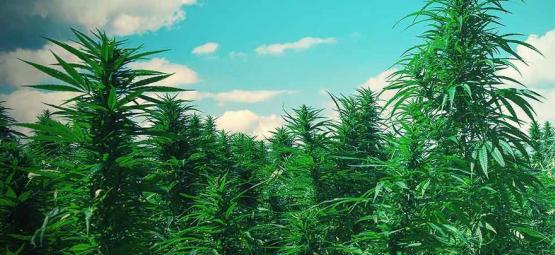 10 Tipps, Um Riesige Weed-bäume Aufzuziehen