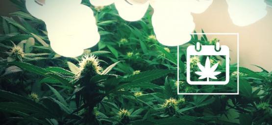 Fortlaufendes Ernten: Wie Man Das Ganze Jahr Über Cannabis Erntet