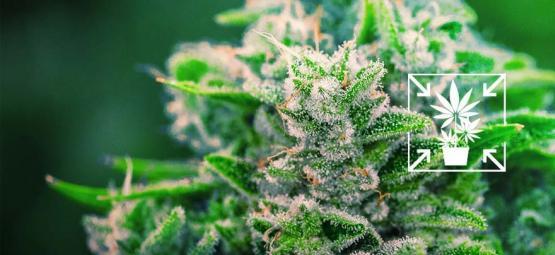 Wie Man Kurze Und Kompakte Cannabispflanzen Anbaut