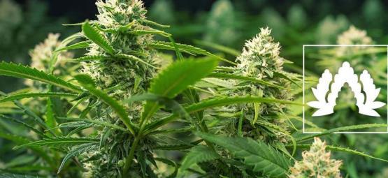 Die 5 Besten Cannabissorten Für Sea Of Green (SOG)
