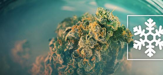 Cannabis Einfrieren Oder Nicht?