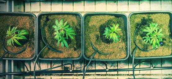 Wann Und Wie Cannabis Umtopfen, Um Mehr Ertrag Zu Erzielen?