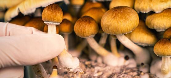 Wie Man Magic Mushrooms Erntet