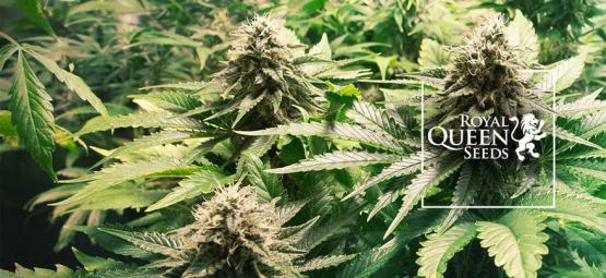 Die 10 besten Cannabissorten von Royal Queen Seeds