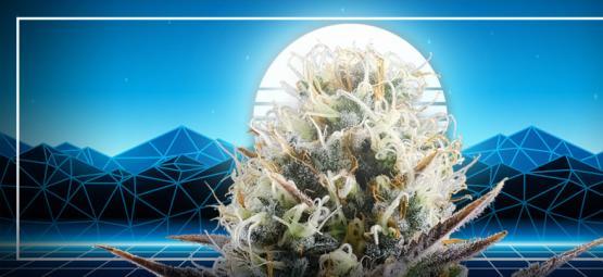 Der Gipfel Der Cannabisevolution: Blue 2.0