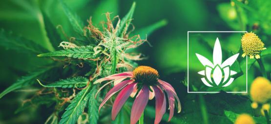 Cannabinoide Gibt Es Nicht Nur In Der Cannabispflanze