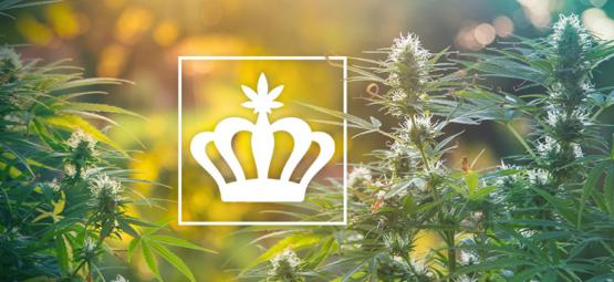 Heirloom Cannabis: Was Sind Althergebrachte Cannabissorten?