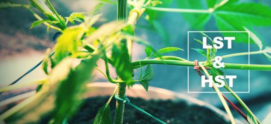HST Und LST Techniken Für Das Trainieren Deiner Cannabispflanzen
