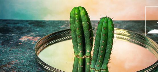 6 Mythen Über Den San Pedro Kaktus Entlarvt