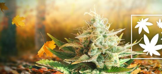8 Gründe, Warum Der Herbst Die Beste Zeit Zum Weed Rauchen Ist