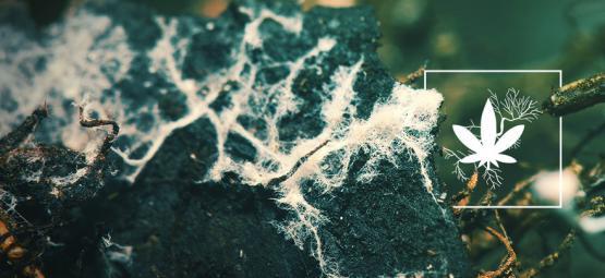 Den Cannabisertrag Mit Mykorrhiza Steigern