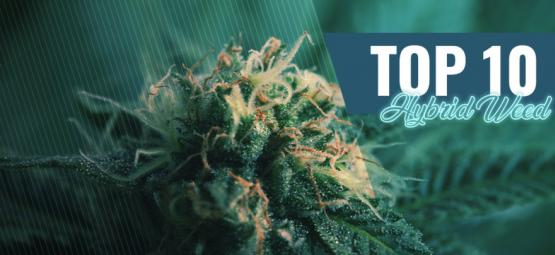 Die Top 10 Hybrid-Cannabis In Amsterdam