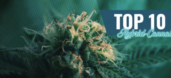 Die Top 10 Hybrid-Cannabissorten In Amsterdam