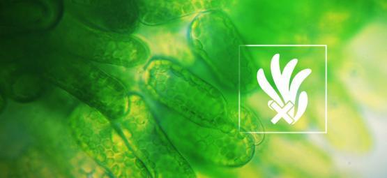 Beseitige Und Verhindere Algen Beim Anbau Von Cannabis In Hydrokultur