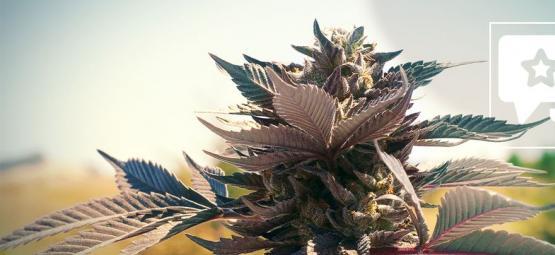 Cannabissorte Wedding Cake: Rezension Und Informationen