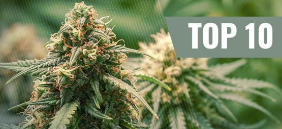 Die Top 10 Haze-Cannabissorten