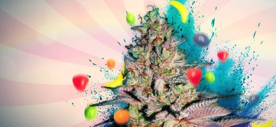 Cannabissorte Runtz Auto: Rezension Und Informationen