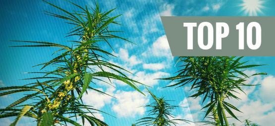 Top 10 Ertragreichsten Feminisierten Cannabissorten