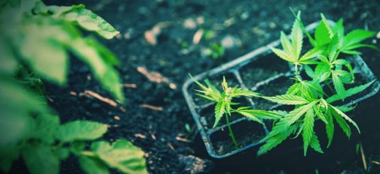 Wie Man Autoflowering Cannabispflanzen Erfolgreich Umtopft