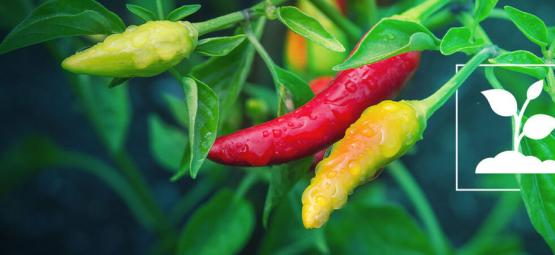 Chilis Anbauen Für Anfänger In 10 Einfachen Schritten
