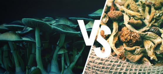 Frische Vs. Getrocknete Magic Mushrooms: Was Ist Besser?
