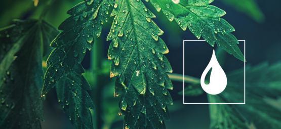 Wie Viel Wasser Brauchen Cannabis Pflanzen?