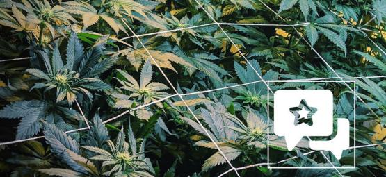 Sortenbewertung: Casey Jones