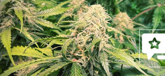 Sortenbewertung: Pineapple Kush