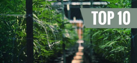 Top 10 der besten autoflowering Sorten für den Anbau im Freien