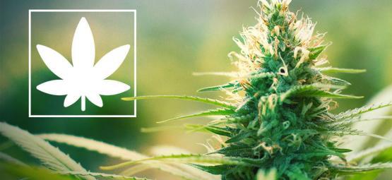 Jack Herer: Marihuana Aktivist