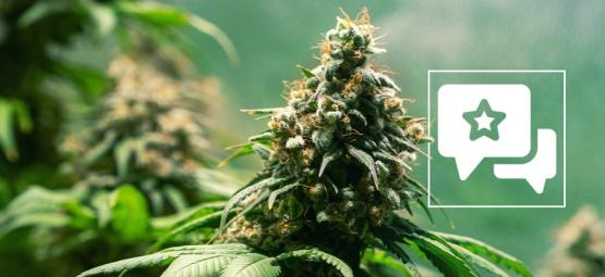 Jack Herer: Sortenrezension & Informationen