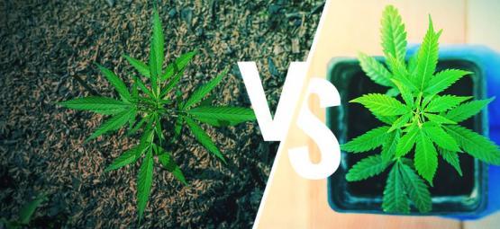 Cannabis Anbau Im Freien: Töpfe Im Vergleich Zu Boden