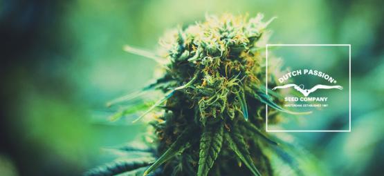 Dutch Passion kennenlernen: Ein Blick auf ihre beliebtesten Cannabissorten