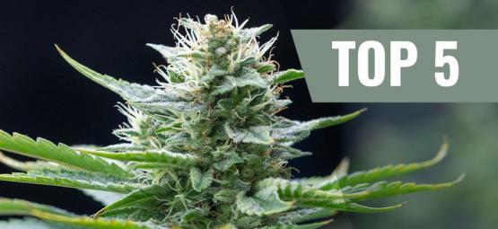 Die 5 Besten Sativa-cannabissorten Für 2019