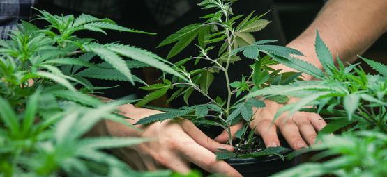 Im Gespräch Mit Jorge Cervantes: Vater Des The Cannabis Grow Guide