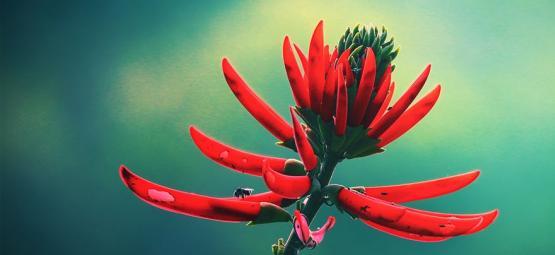 Mulungu: Ein Natürliches Beruhigungsmittel Aus Dem Amazonas