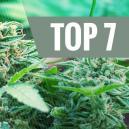 7 Der Häufigen Ursachen, Die Deine Cannabispflanze Stressen