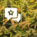 Cannabis-Sorte Bewertung: The Church von Greenhouse Seeds