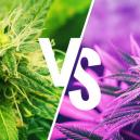 Verstehe Den Unterschied Zwischen Kush- Und Haze-Sorten