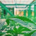 Ist Vertikaler Anbau Ein Trend Beim Cannabisanbau?