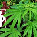 Begleitpflanzen, Die Deine Cannabispflanzen Fördern Und Schützen