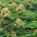 Spezielle Cannabissorten Für Einen SOG Von Philosopher Seeds