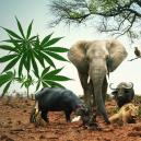 Geh Auf Safari Mit Diesen 5 Cannabissorten, Die Den Big Five Ähneln